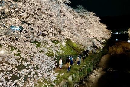 厚狭川河畔の桜並木通りライトアップされた桜