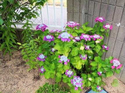 たくさん咲いている紫陽花