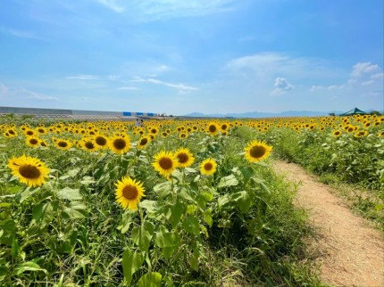 花の海で見た青空とひまわり畑 (2)