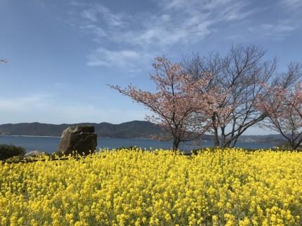 笠戸島菜の花