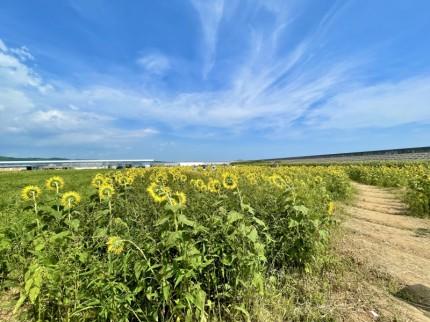 花の海で見た青空とひまわり畑 (1)