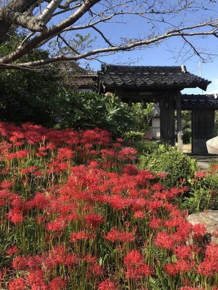 彼岸花が咲いている小鯖八幡宮