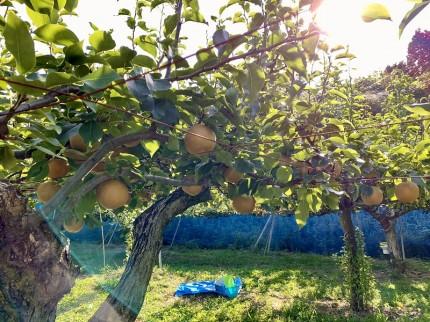 豊北町で梨狩り