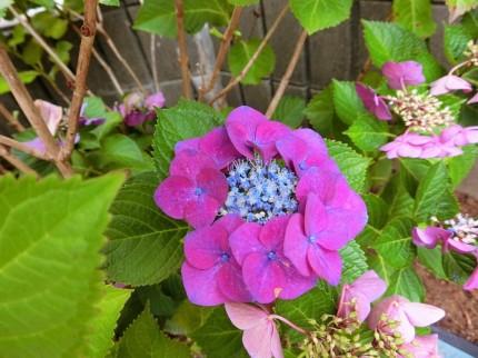 小ぶりで可愛い紫陽花