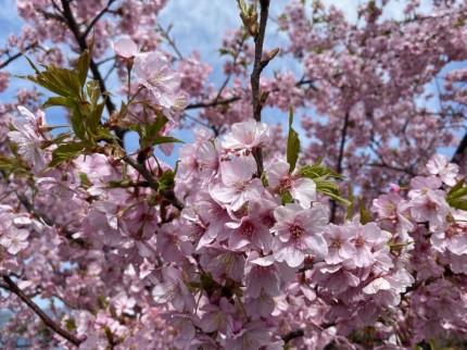 笠戸島河津桜