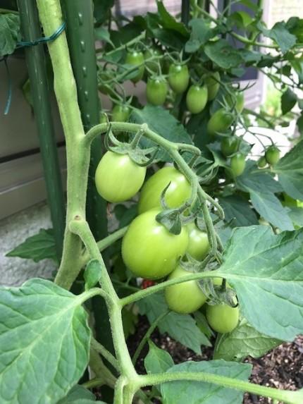 まだ熟していないプチトマト